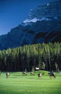 A gang of elk graze the greens at Banff Springs